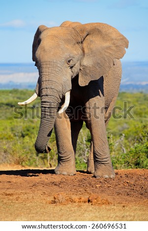 Large African elephant bull (Loxodonta africana), Addo Elephant National park, South Africa - stock photo