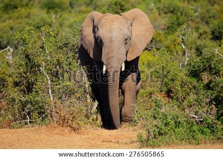 Large African elephant (Loxodonta africana), Addo Elephant National park, South Africa - stock photo