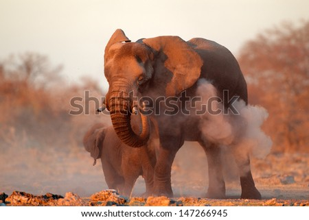 Large African elephant (Loxodonta africana) covered in dust, Etosha National Park, Namibia  - stock photo