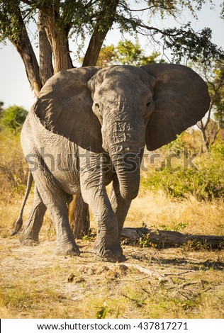 Large African Elephant portrait with ears out wide in Botswana, Africa - stock photo