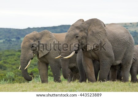 Large African elephants standing and eating grass on a hot summers day