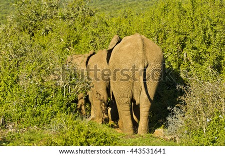 Large african elephants walking in a straight line into thick bush - stock photo