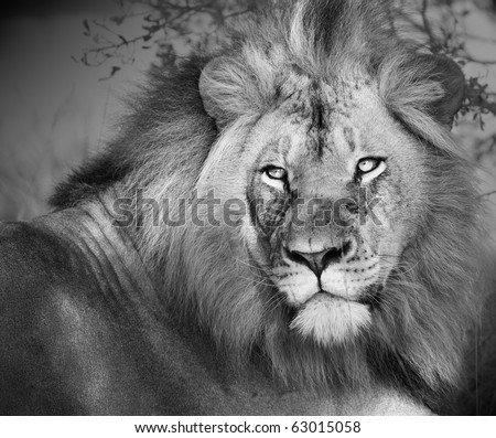 Large african lion with intent stare converted to black and white. - stock photo