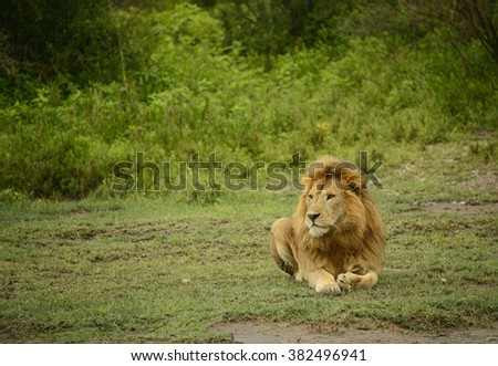 Large African male lion resting in Serengeti National Park - stock photo