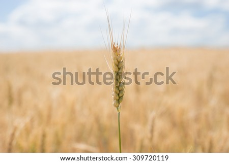 Large agricultural field of golden wheat ready for harvesting with focus to a single ripe ear in the foreground - stock photo