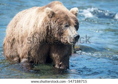 Large Alaskan brown bear wading through the Brooks River in Katmai National Park, Alaska