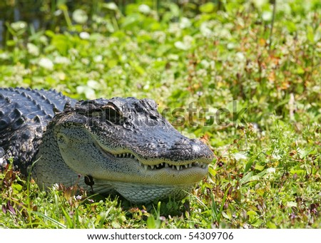 Large alligator in the sun - stock photo