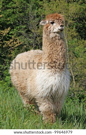 large alpaca with the body covered with soft woolly curls - stock photo