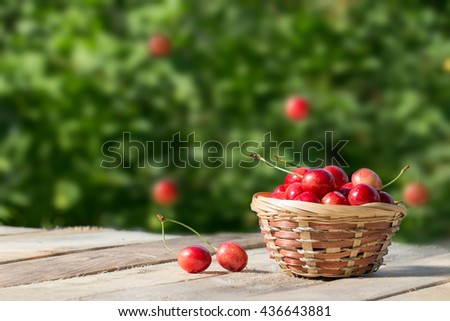 large and juicy ripe sweet cherries in a basket on a background of foliage, fresh fruits - stock photo