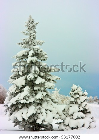 Large and small fir trees covered with snow - stock photo