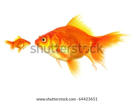 large and small goldfish showing different competition or friendship concept - stock photo
