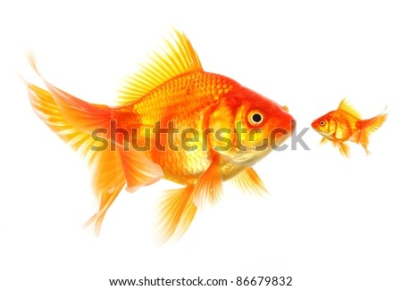 large and small goldfish showing different competition or friendship concept