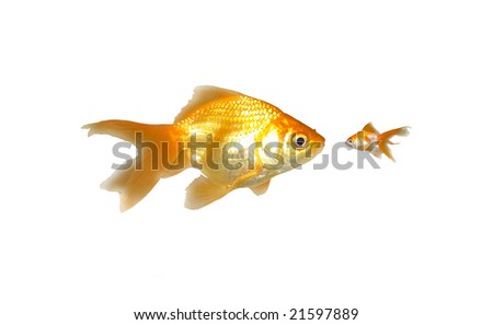 Large and Small Goldfishes (Power) - Two beautiful friendly goldfishes isolated on white background (can be used individually) - stock photo