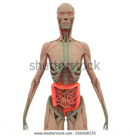 Large and Small Intestine