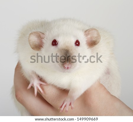 large and well-fed white rat