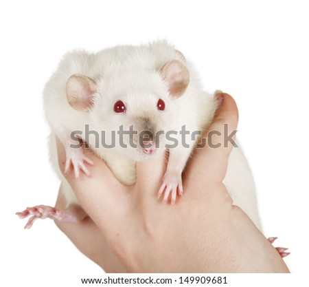 large and well-fed white rat isolated - stock photo