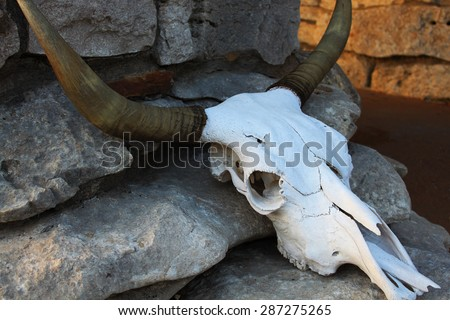 Large animal skull - stock photo
