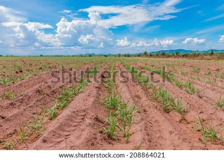 Large areas of sugarcane planting. Lop buri province. - stock photo