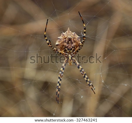 Large argiope argentata amidst the cobweb