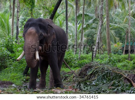 Large Asian Elephant in Jungle - stock photo