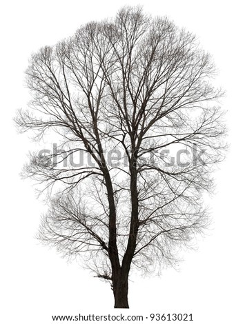 large bare tree without leaves. Isolated over white background. - stock photo