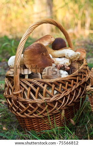 large basket with porcine mushrooms in the forest