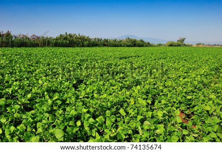 Large bean plantation in southern Greece under a clear morning blue sky - stock photo