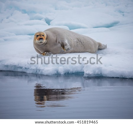 Large bearded seal on ice in Norway - stock photo