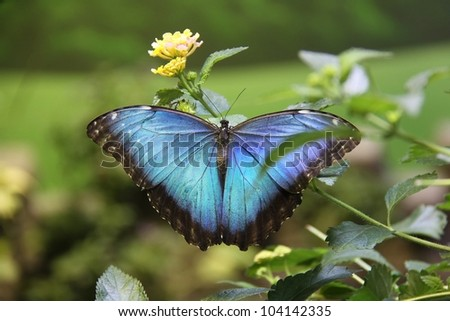 large beautiful colored butterfly feeding on a plant - stock photo
