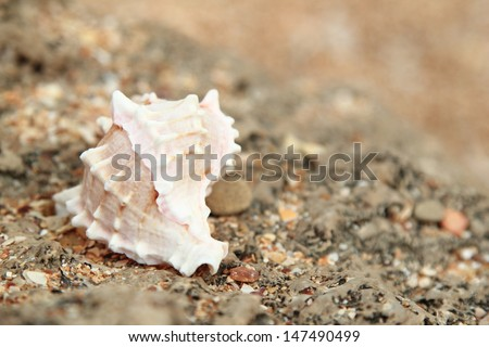 Large beautiful sea shell lies on the stones on the beach, blurred background
