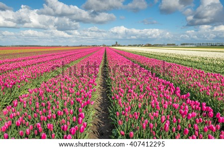 Large beds with mostly pink flowering tulips in the field of a specialized Dutch grower at the edge of a small village. - stock photo