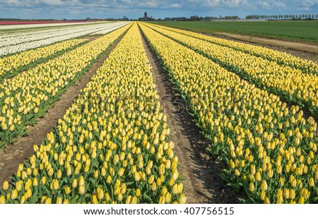 Large beds with mostly yellow flowering tulips in the field of a specialized Dutch grower at the edge of a small village. - stock photo