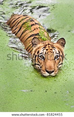 Large bengal tiger taking a swim in marshy water in Sundarban national park. - stock photo