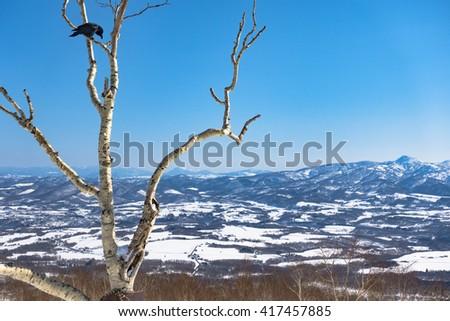 Large-billed Crow Hashibuto-garasu in a Birch Tree Branch - Sunny Blue Sky Snow Winter Day Hokkaido, Japan - stock photo
