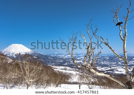 Large-billed Crow Hashibuto-garasu in a Birch Tree Branch - Sunny Blue Sky Snow Winter Day - Mt Yotei, Hokkaido, Japan - stock photo