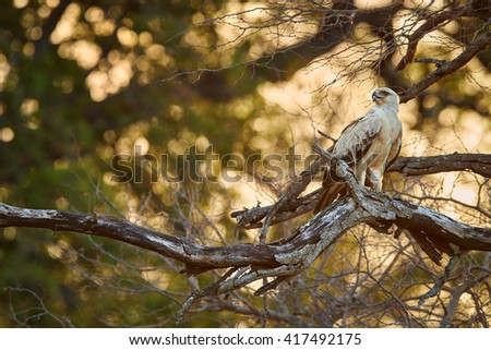 Large bird of prey, Tawny eagle, Aquila rapax perched on branch, looking left against golden light of setting sun coming through tree branches in background. Kruger national park, South Africa. - stock photo