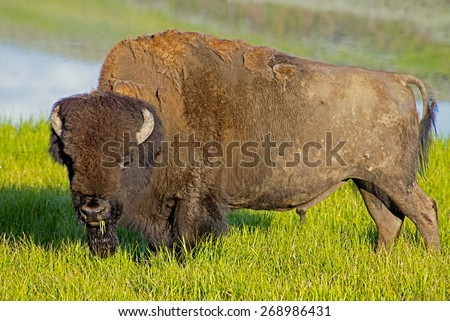 Large Bison in early morning light. - stock photo