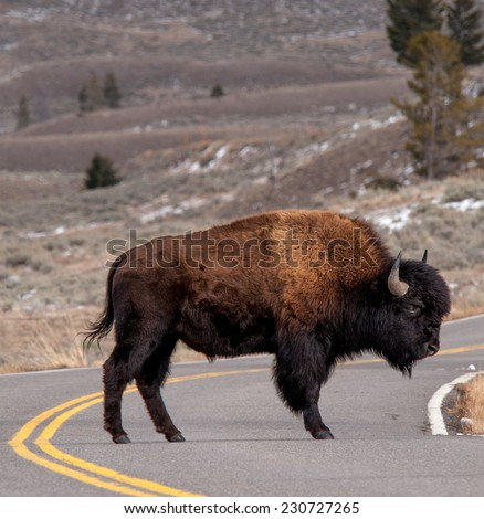Large bison stands in the road daring cars to try to make him move in Yellowstone National Park, winter - stock photo