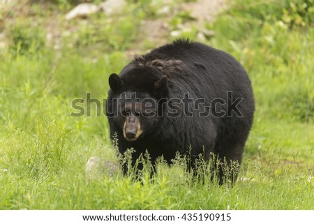 Large black bear in a valley