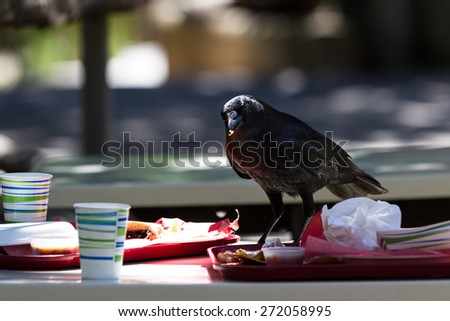 large black crow feeding on fast food leftovers at a table - stock photo