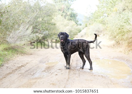 Large black dog hiking in the mountains