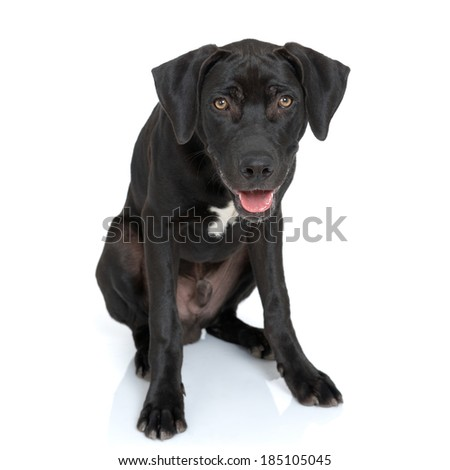 Large black dog leaning forward as if to engage the viewer in a conversation. This is a Black Lab and Great Dane mix. White background, with reflection.