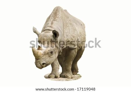 Large Black Rhino, isolate - stock photo