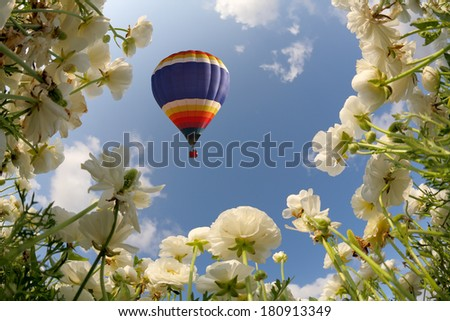 Large blooming sunflowers in a field of white garden buttercups. Picture taken fisheye lens - stock photo