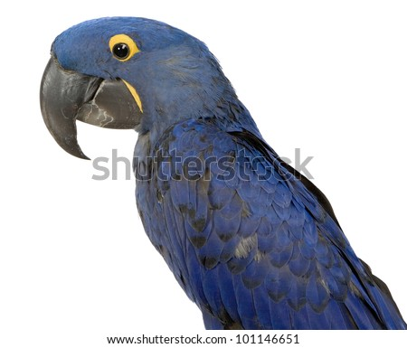 Large Blue Hyacinth Macaw Parrot isolated on white