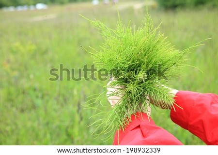 Large bouquet from the field medicinal horsetail outdoor nature - stock photo