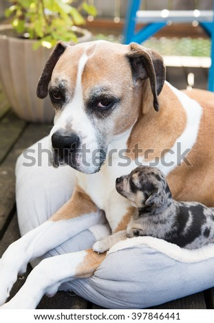 Large Boxer Mix Dog Meeting Tiny Mixed Breed Puppy