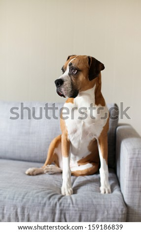 Large Boxer Mix Dog Sitting on Gray Sofa at Home Looking in Window