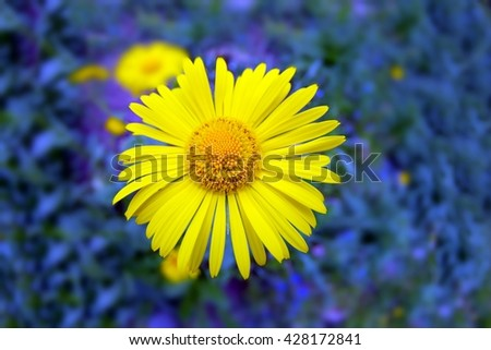 large bright yellow flower closeup on a background of small purple flowers - stock photo