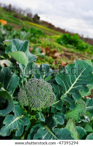 Large broccoli plant cultivated in the garden - stock photo